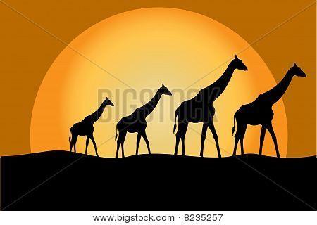Giraffes In Savana