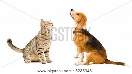 Curious cat Scottish Straight and beagle dog sitting together isolated on white background poster