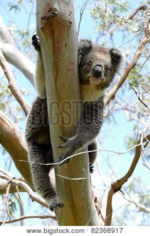 Koala Hanging In A Eucalyptus Tree