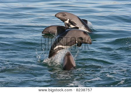 Pod of Heavyside's Dolphins jumping on a beautiful day. poster