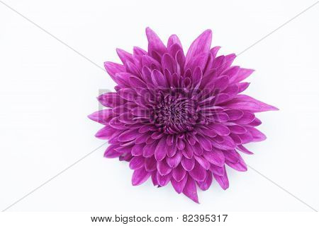One Violet Chrysanthemum Flower Isolated Over White Background