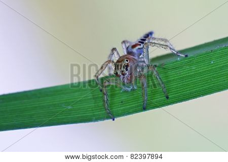 jumping spider on grass leaf