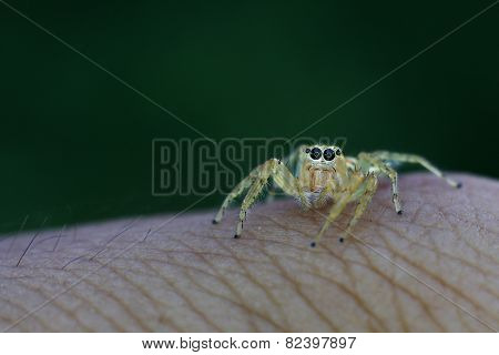 jumping spider on skin