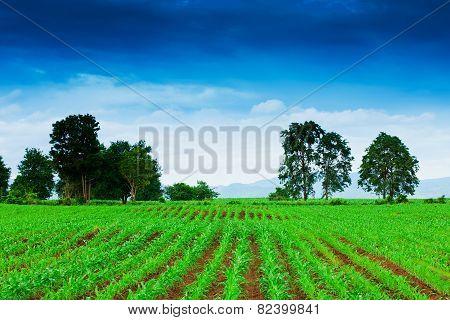 Corn Field In Thailand