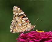 A Painted Lady butterfly on a flower. Photo taken on July 2010 in a park in Bucharest. poster