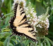 An Eastern Tiger Swallowtail (Papilio glaucus) butterfly on a flower in a garden poster