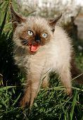 the siamese kitten poster