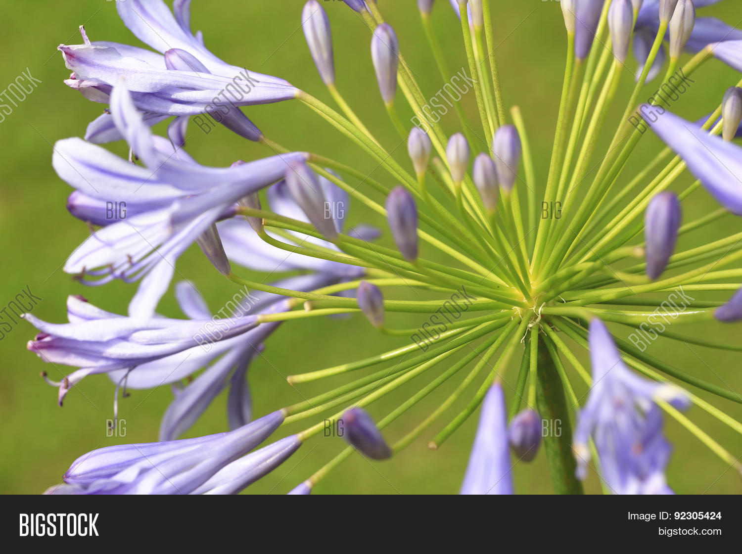 Lily Nileafrican Lily Image Photo Free Trial Bigstock