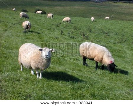 Sheep At Kells Priory