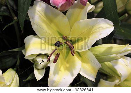 Beautiful Lilium, Liliaceae flower