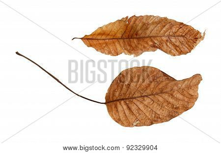 Two dry leaves