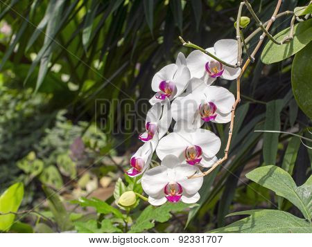 Chaplet of white moth orchid flowers (Phalaenopsis sp.) poster