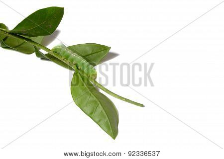 Machaon Caterpillar On A White Background