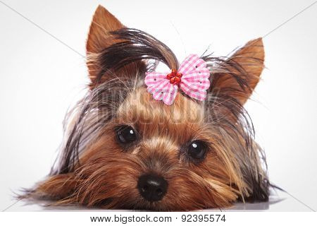 sleepy little yorkshire terrier puppy dog is lying down to rest poster