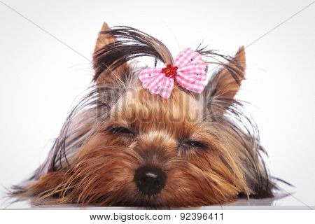 tired little yorkshire terrier puppy dog is sleeping on studio background