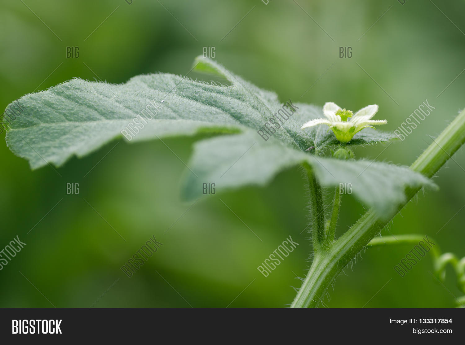 White Bryony Bryonia Image Photo Free Trial Bigstock
