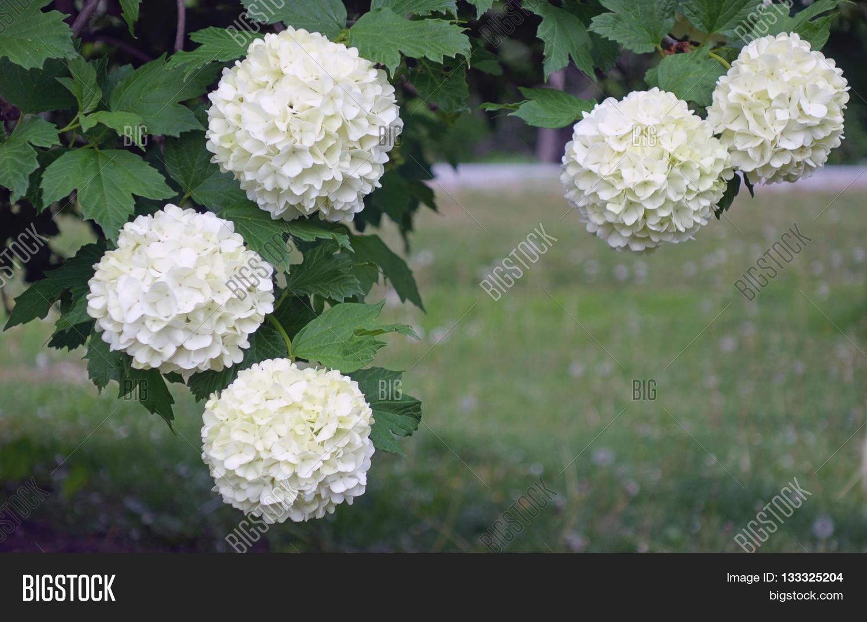 Big fluffy flowers garden inspiration beautiful fluffy white chinese image photo stock fluffy flowers mightylinksfo