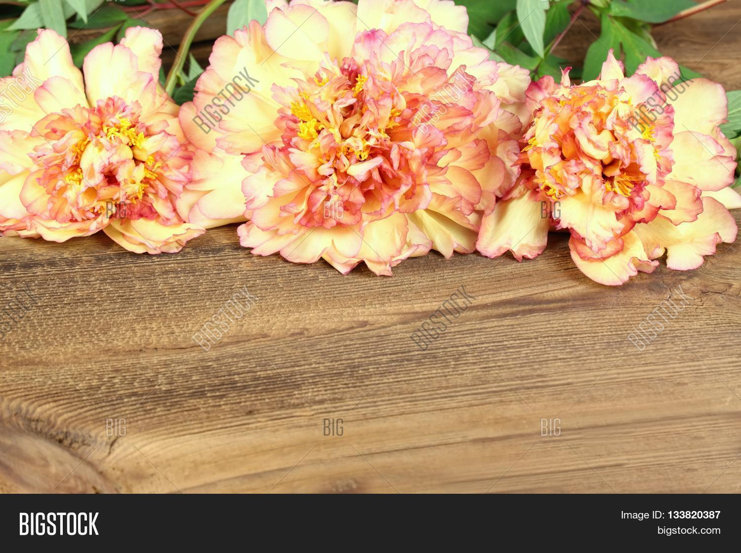 Peony Background Image Photo Free Trial Bigstock