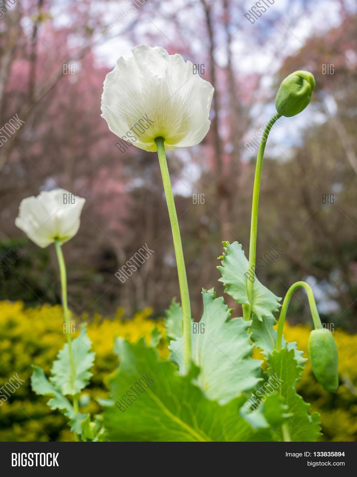 Poppy Flower Know Image Photo Free Trial Bigstock