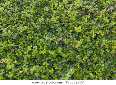 green leaf; garden leaves;green leaf background; leaves green asia