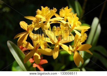 Epidendrum yellow Epidendrum Ivan Gasparovic orchid close up in Thailand