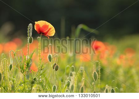 Poppy in the field at dawn. June, Poland.