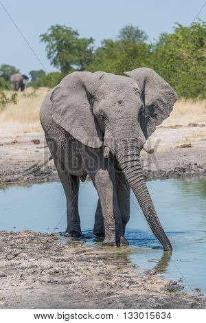Elephant Drinking From Water Hole With Trunk
