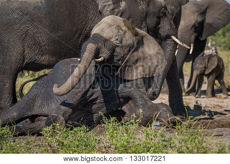 Elephant Struggles To Stand In Elephant Herd