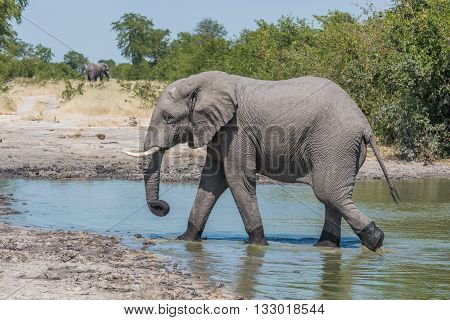 Elephant Walking From Water Hole In Profile