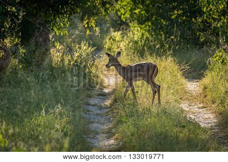 Female Impala Crossing Track In Dappled Sunlight