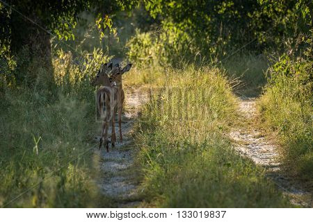 Female Impala Nuzzling Each Other In Woods