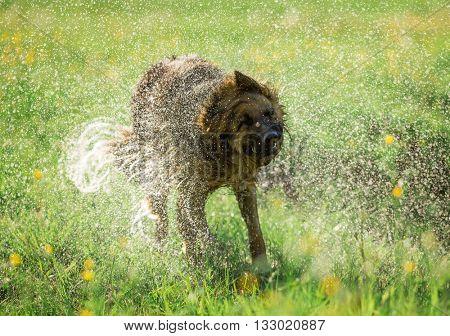 German shepherd dog shaking off water