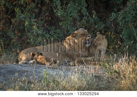 Lioness Growling In Bushes With Two Cubs
