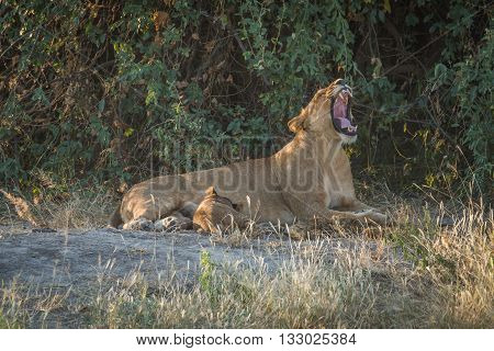 Lioness Lies Yawning In Bushes With Cub