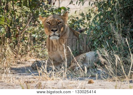 Lioness Lying In Shady Bushes With Cub