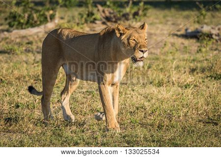 Lioness Stands Staring On Savannah At Dusk