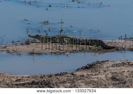 Nile Crocodile On Mud Bank In Shallows