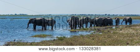 Panorama Of Elephant Herd Drinking From River