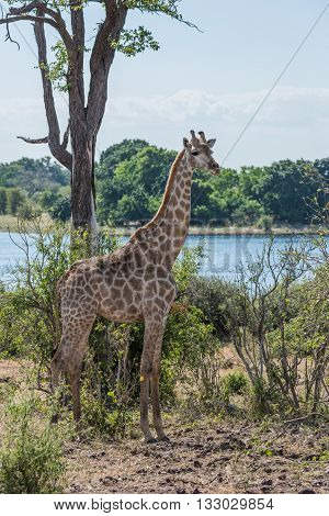 South African Giraffe Beside Tree And River