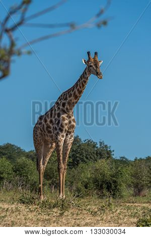 South African Giraffe Standing Framed By Branches