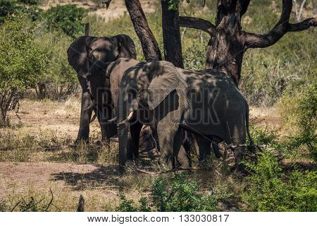 Three Elephants Beneath Tree In Dappled Sunlight