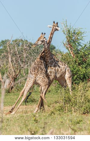 Two South African Giraffe Wrestling Each Other
