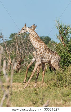 Two South African Giraffe With Necks Entwined