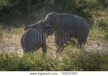 Two Baby Elephants Play Fighting In Bushes