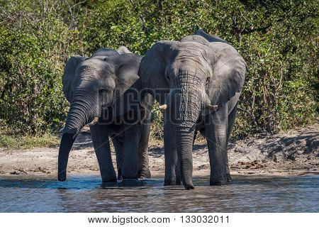 Two Elephants Drinking Side-by-side At Water Hole