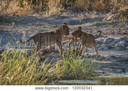 Two Lion Cubs Play Fighting In Grass