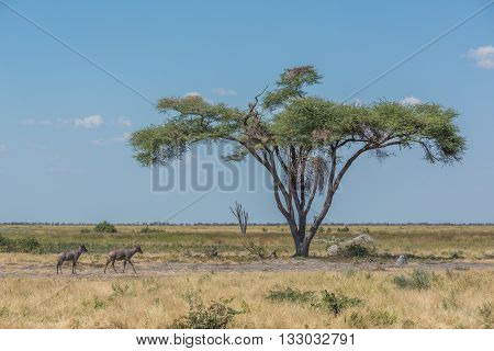 Two Tsessebe Pass Acacia Tree On Savannah