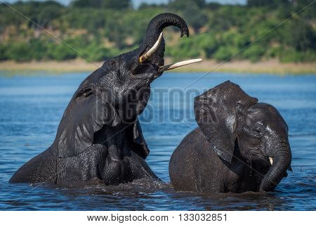 Two Wet Elephants Playing In Calm River
