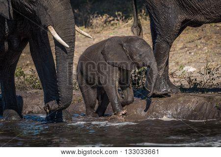 Baby Elephant Kneeling On Riverbank Beside Mother