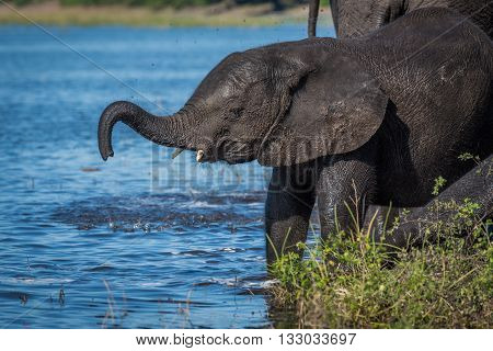 Baby Elephant Lifting Its Trunk On Riverbank